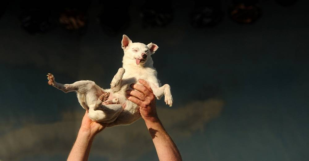 14-year-old Chihuahua mix Ratdog was born deaf and toothless. The dog took part in the competition in 2011 but did not win