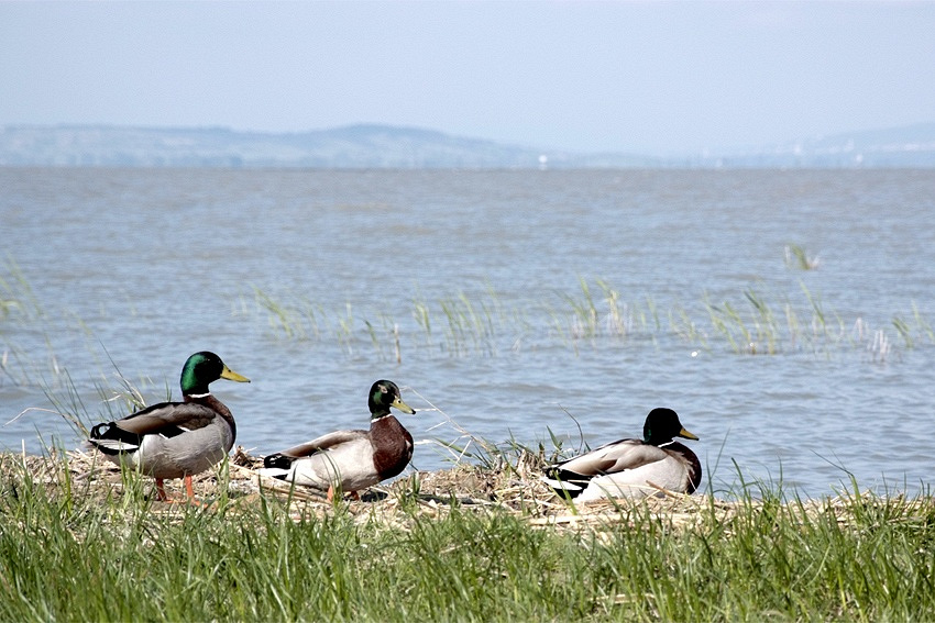 Lake Neusiedl is located at Austria-Hungarian border. The largest endorheic lake in Central Europe is a unique biosphere reserve