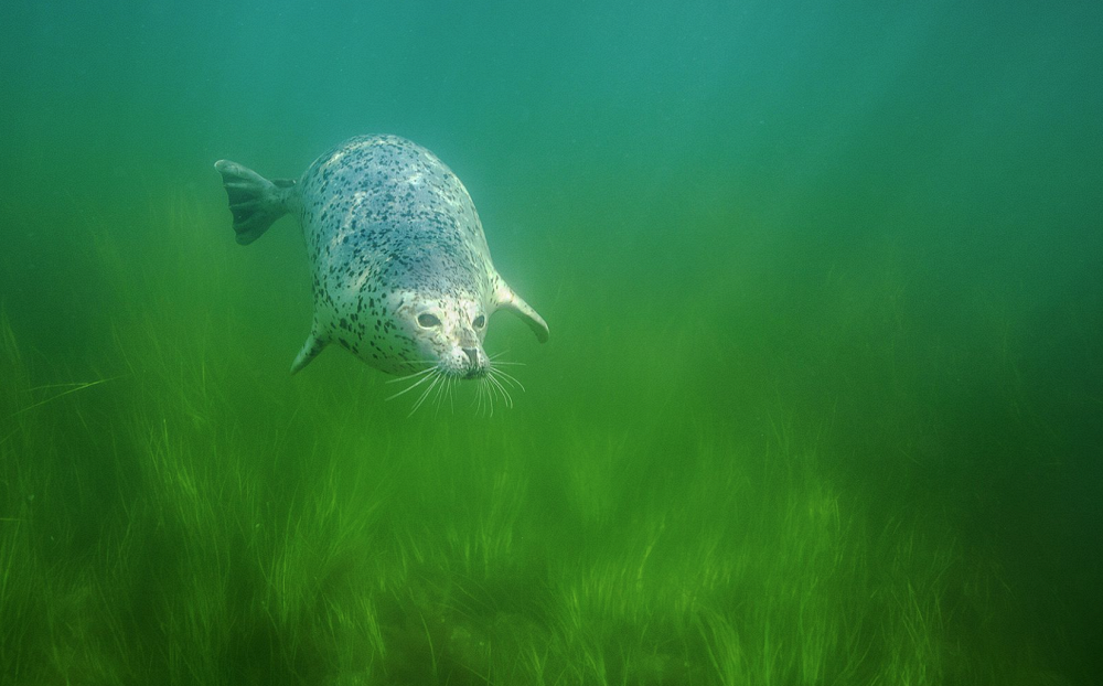 Far away in the meadow grazing who? by Andrei Sidorov (Moscow). Photo: mottled seal, Kuril islands' reserve, Kunashir, Sakhalin region