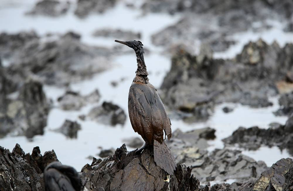 Environmentalists and volunteers conducted a campaign to clean up shoreline and rescue birds. Of 69 birds affected by oil spill, only 9 survived