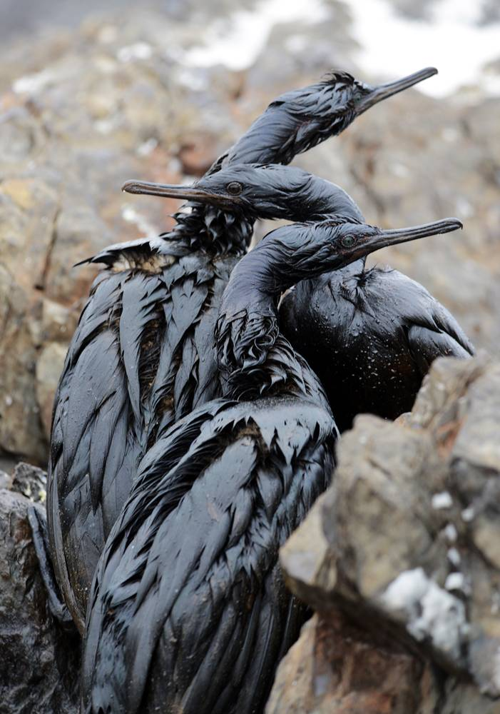 Birds affected by an oil spill