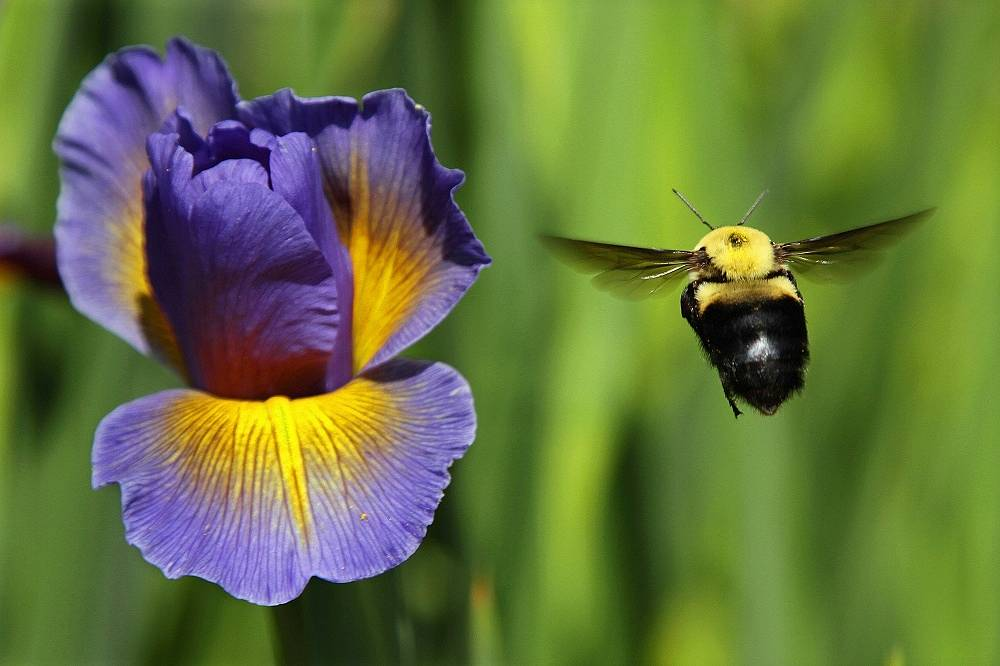 Franklin's bumblebee is known to be one of the most narrowly distributed bumblebee species, making it a critically endangered bee of the western United States. It was last seen in 2006