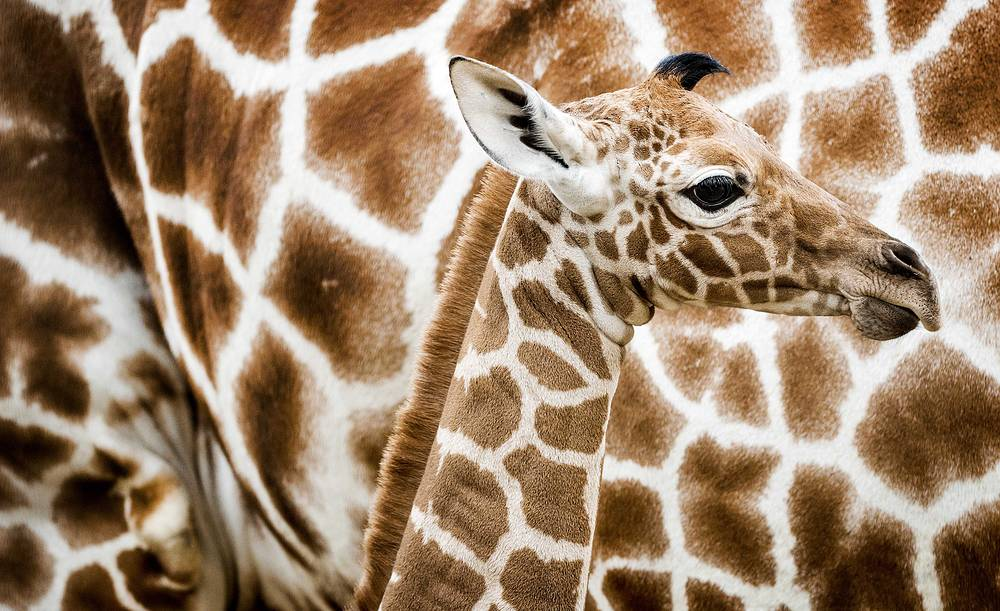 A newborn reticulated giraffe is seen for the first time at the Savannah in Artis Zoo in Amsterdam, the Netherlands, November 21