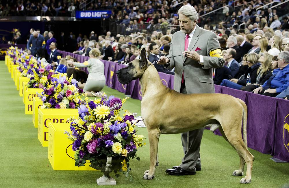 George, a Great Dane waits for judging in the Working Group during the  Westminster Dog Show in New York
