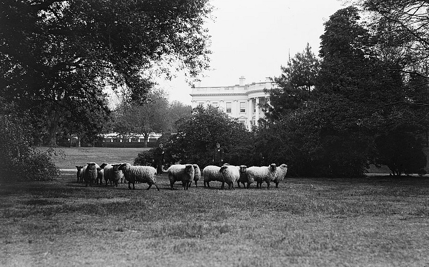 The wife of Woodrow Wilson, Edith kept sheep at the White House. The flock saved manpower by cutting the grass and earned money for the Red Cross through an auction of their wool. Photo: The sheep graze on the lawn of the White House