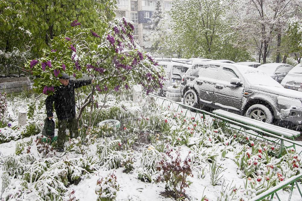 A man shakes a lilac bush to disburden the branches during snowfall in downtown Chisinau, Moldova, April 20