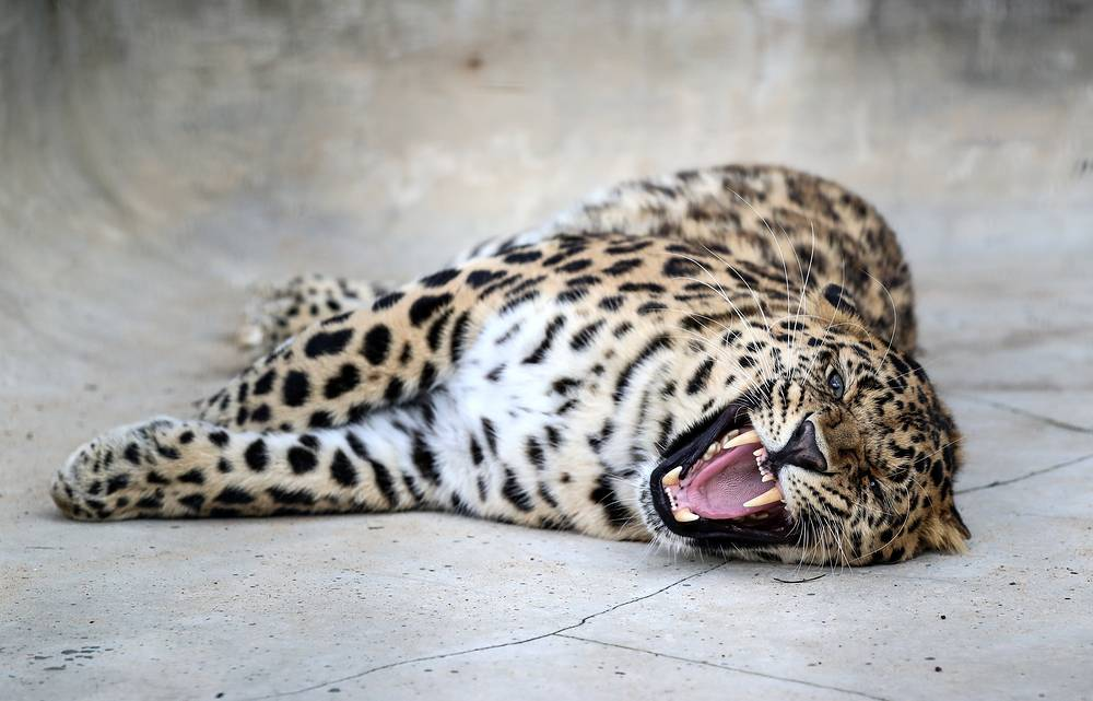 An interesting group of animals that are kept at the breeding center are carnivorous mammals. Photo: An Amur leopard