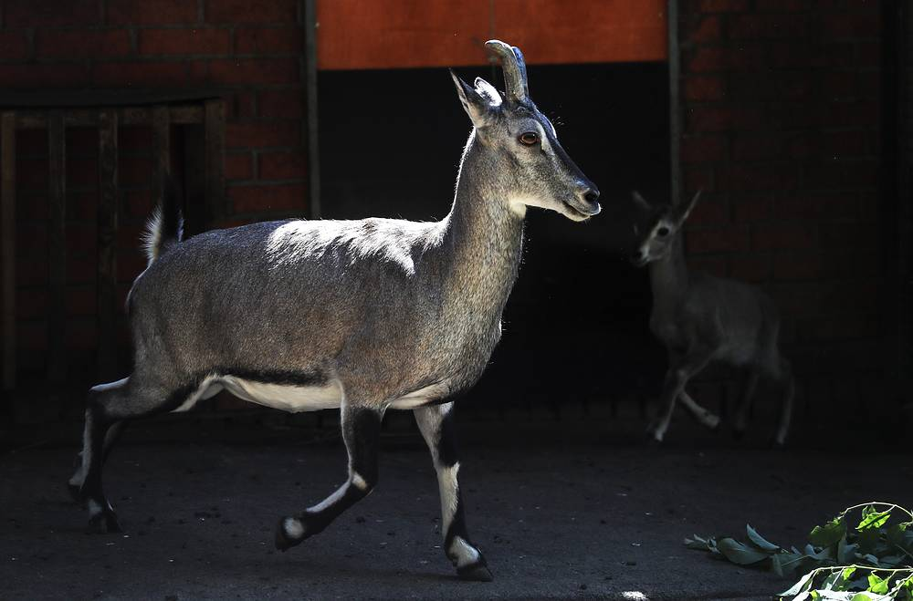 For the ungulates that are kept at the breeding center the environment is almost ideal. Photo: A bharal, or Himalayan blue sheep