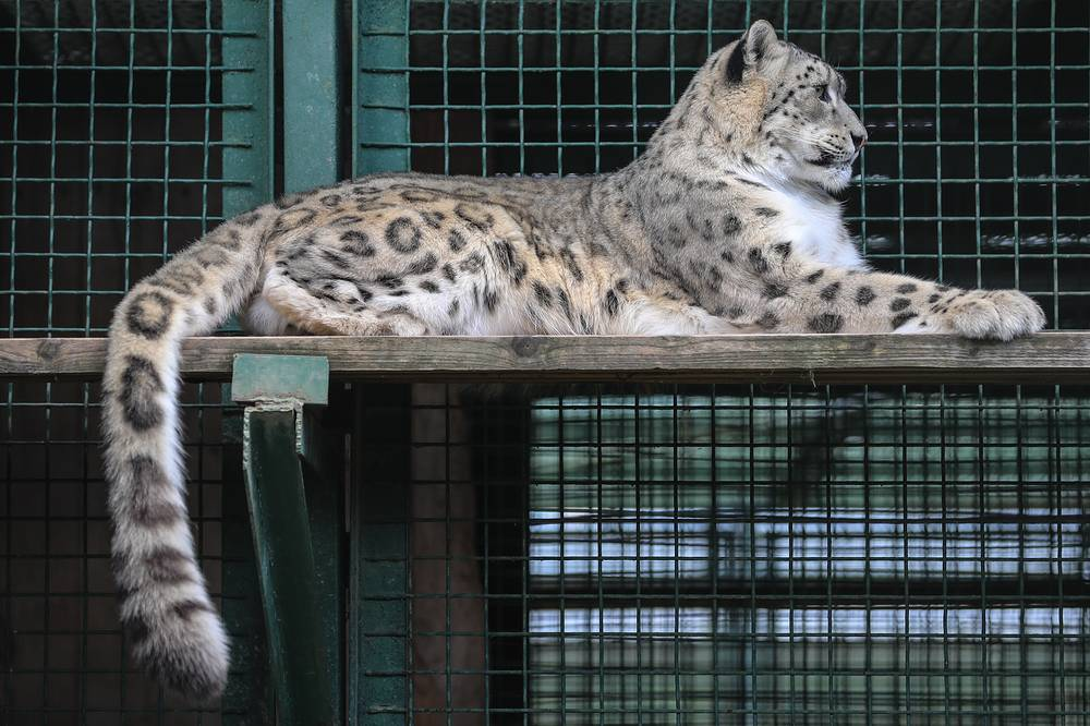 These include such endangered species as Amur leopard, Pallas' cat, Cheetah, Amur tiger, Dhole, Wolverine, and Yellow-throated Marten. Photo: A snow leopard