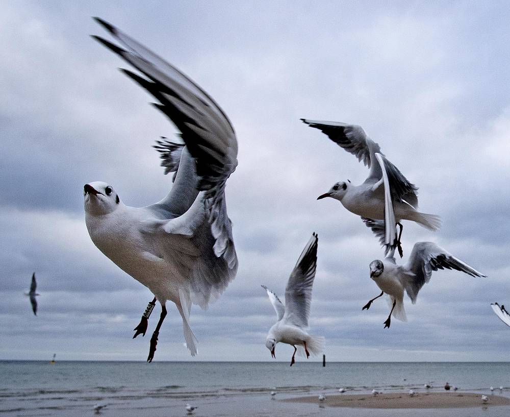 Sea gulls fly at the beach of the Baltic Sea in Timmendorfer Strand, December 25