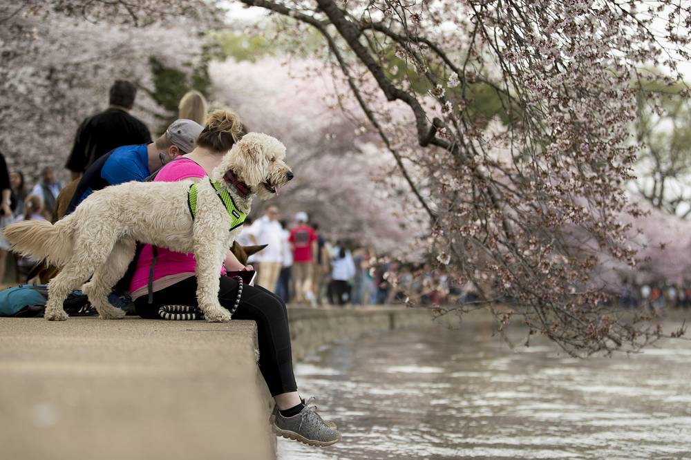 According to US National Park Service the peak bloom for the Yoshino cherry blossoms is April 1