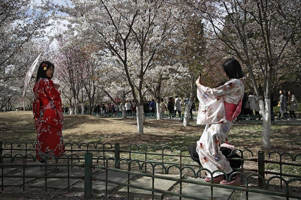 Chinese girls clad in Japanese traditional kimonos taking souvenir photos with cherry blossoms at the Yuyuantan Park during a spring festival in Beijing, China