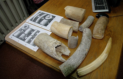 Smuggler carrying 10 kg of mammoth tusks nabbed at Siberian airport