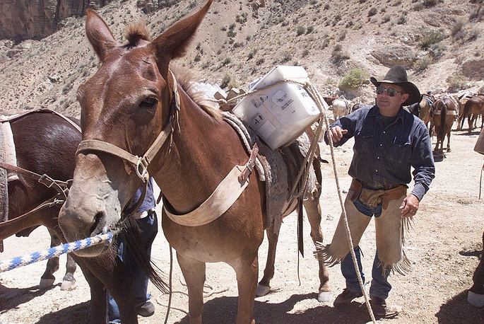 Animals have always been used for mail delivery to the remote areas. Photo: US Postal Service contractor uses the mule to transport mail crate