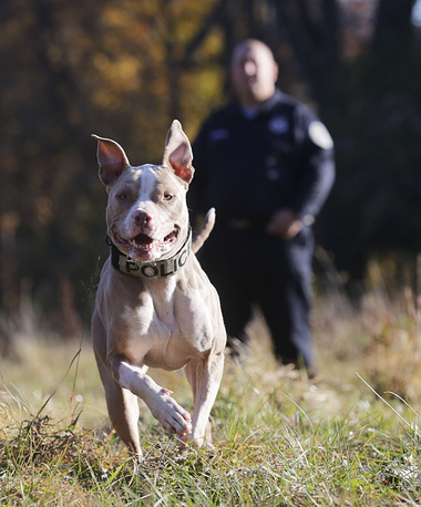 A pit bull at the K9 school in Stone Ridge, USA, training to join the local police department as a crime-fighting, drug-sniffing police dog