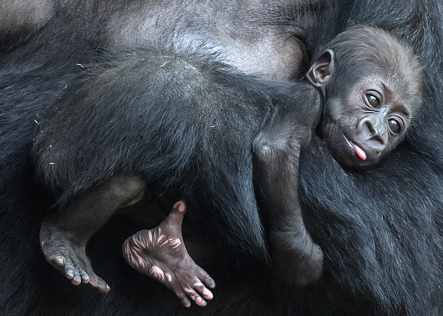 Baby gorilla relaxes on her mother Kibara at the zoo in Leipzig, Germany, February 16