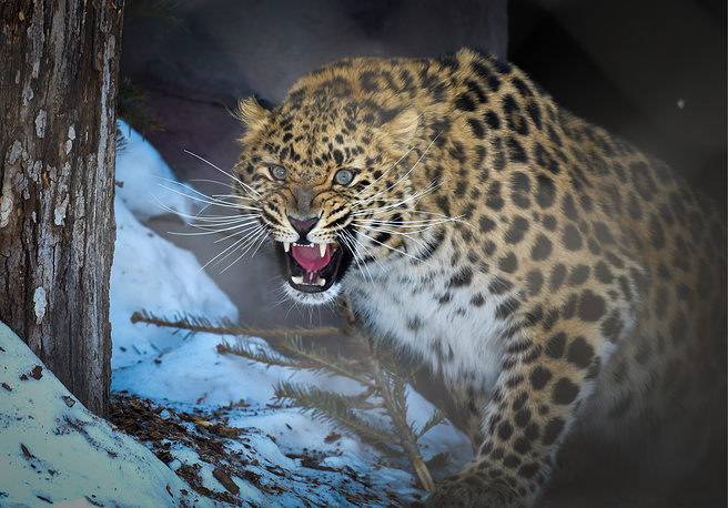 An Amur leopard bares its teeth at the Priamursky Zoo named after Russian Far East writer Vsevolod Sysoyev, March 14