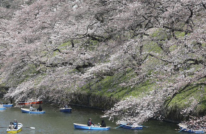 Visitors row-boating under blooming cherry blossoms on the Chidorigafuchi imperial moat in Tokyo, Japan