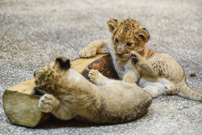 Newborn lion cubs at the Yekaterinburg Zoo, Russia, April 12