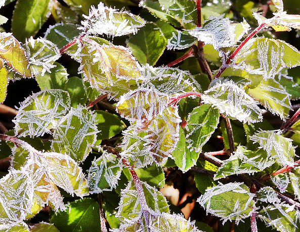 Small leaves of a bush are frost-covered after a cold night in Frankfurt, Germany, April 20