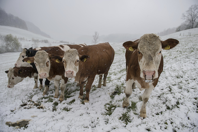 Cows walk on a snow-covered meadow near Degenfeld, Germany, April 18