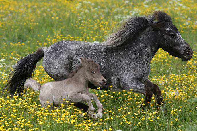 Miniature horse foal named Gulliver seen with his mother at the Hidalgo farm for breeding American miniature horses in the village of Skotnoye, Moscow region, Russia, June 24  The foal born 30-cm-tall and weighing 3kg is set to break a Guinness world record