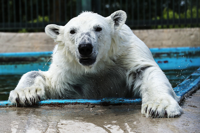 160 species and over 1000 animals are kept at Moscow Zoo breeding center. Photo: A polar bear