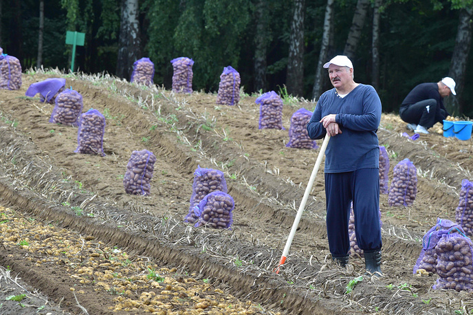Belarus' President Alexander Lukashenko harvesting potatoes in his garden, Minsk, Belarus, August 26