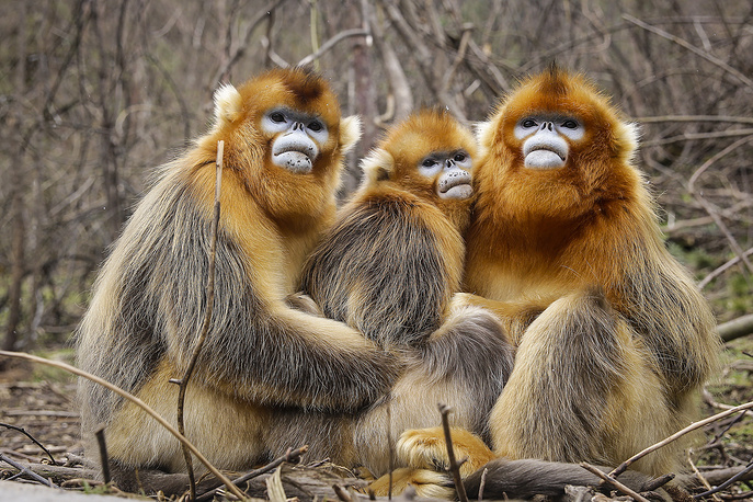 Golden snub-nosed monkeys plays at Shennongjia, Hubei province, China, November 22