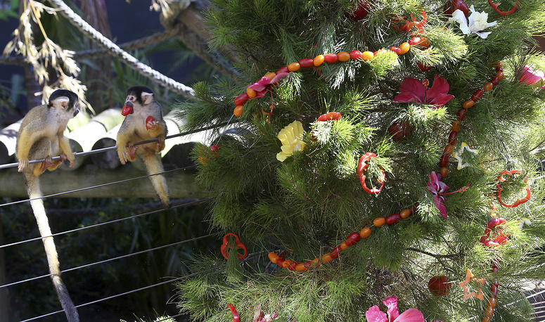 Squirrel monkeys gather garland and baubles made from fruit and vegetables at Taronga Zoo in Sydney