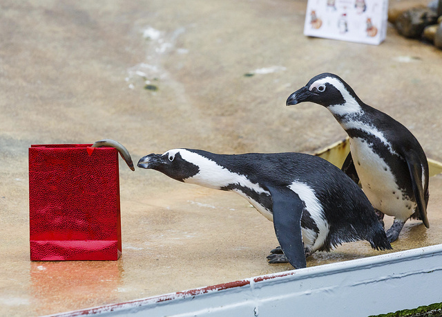Penguins inspect their Christmas present filled with fish at the zoo in Hannover, Germany
