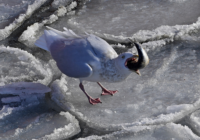A glaucous-winged gull spends winter in the ice-free bay of Zolotoy Rog, Vladivostok, Russia, February 18