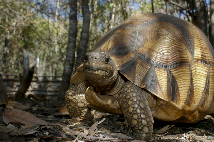 Angonoka tortoise is a critically endangered species of tortoise endemic to Madagascar.  The tortoise is thought to become extinct in the wild in the next 10 to 15 years. The population estimate for the angonoka tortoise in the wild is about 600 individuals