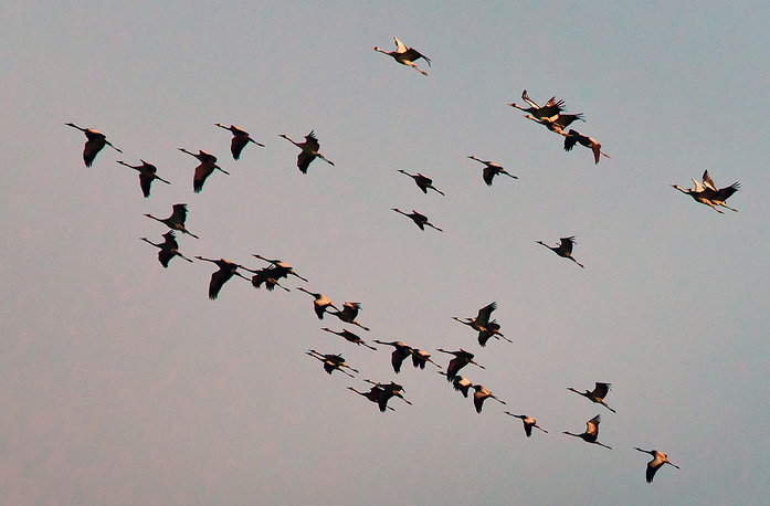 A flock of cranes flying over the village of Vorontsovka, Krasnoperekopsky district