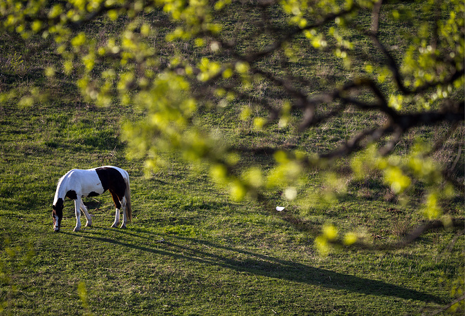 A horse grazing by the White Rock in Belogorsky district