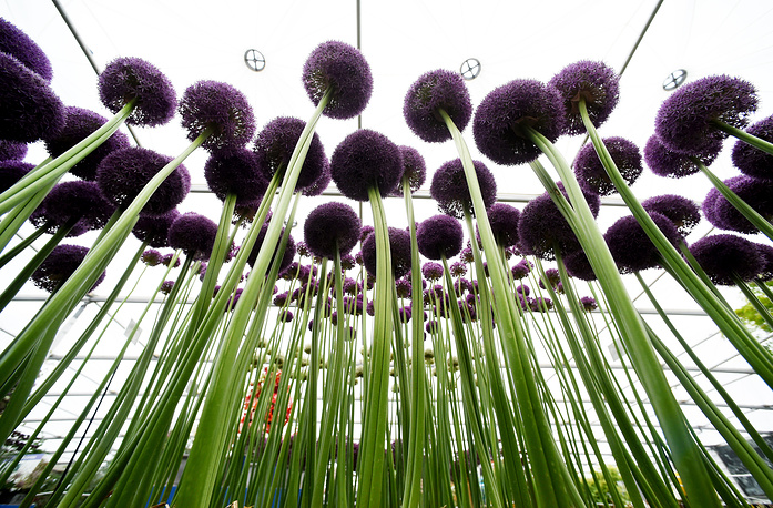 Alliums seen at the RHS Chelsea Flower Show