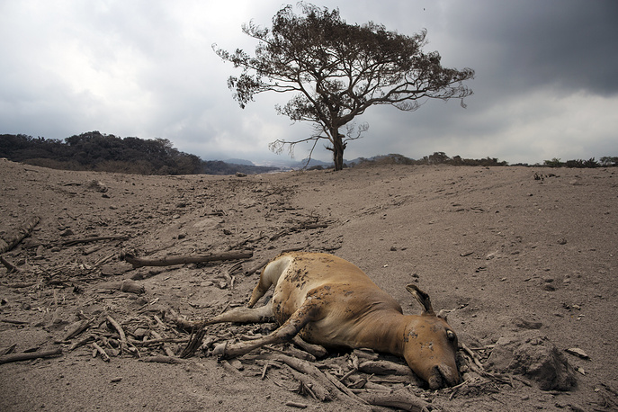 A dead cow lays in the disaster zone near the Volcan de Fuego in Guatemala