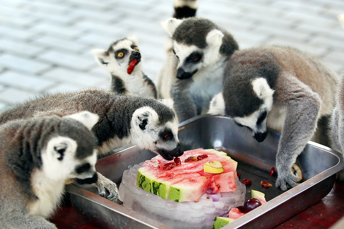 Ring-tailed lemurs snack on an icy watermelon to cool off during the hot weather in a zoo in Changzhou, July 18