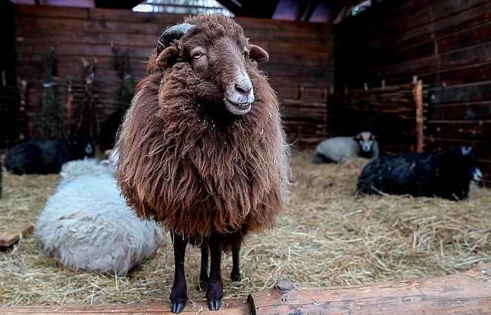 A sheep is seen in its enclosure at the zoo in Moscow