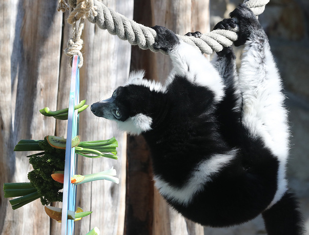 A black-and-white ruffed lemur is seen in his enclosure in Hanover zoo