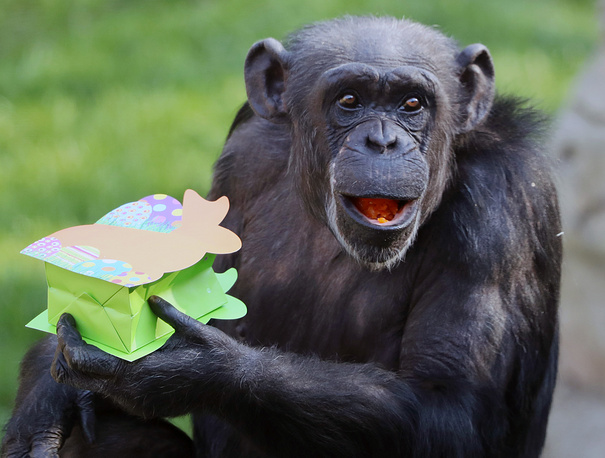 A chimpanzee holding a box with Easter goodies