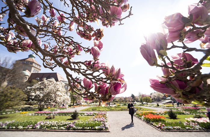 A general view on blooming magnolia tree in the Botanical Garden in Munich, Bavaria, Germany, 16 April 2019.