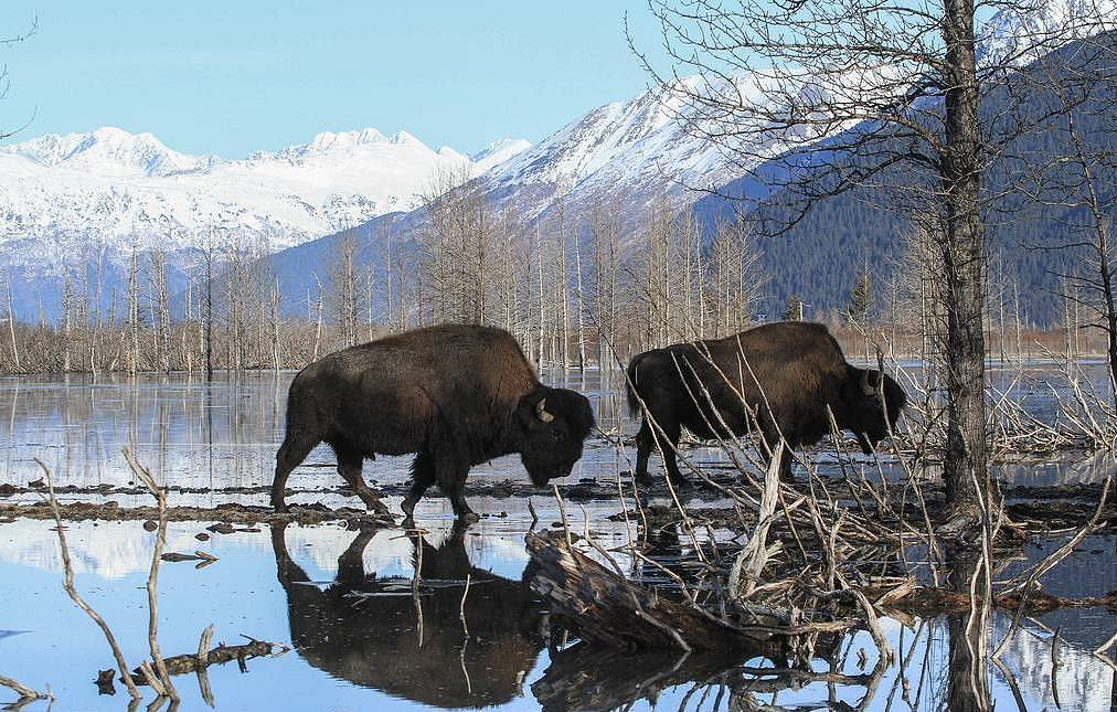 Wood bison AP Photo/Dan Joling