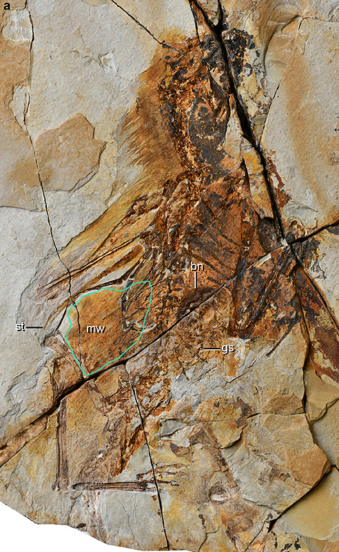 Окаменелости, оставшиеся от Ambopteryx longibrachium. Min Wang / Institute of Vertebrate Paleontology and Paleoanthropology, Chinese Academy of Sciences
