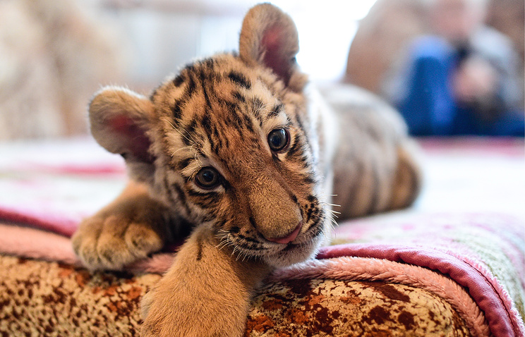 A two-month old Siberian tiger cub Sherkhan